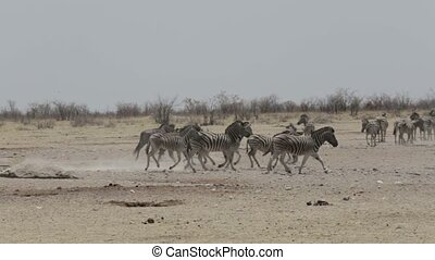 Zebras and wilderbeest in african bush Etosha national Park,...