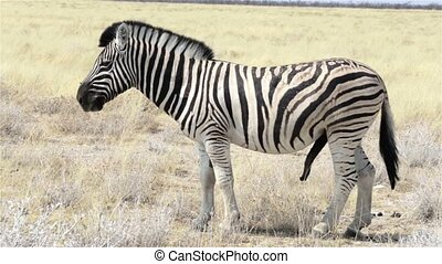 Zebras male ready for mating in afr - Zebras in african bush...