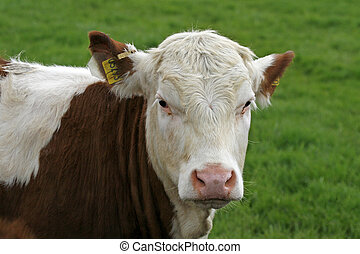 Speckled brown cow