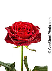 red rose signs of love - a red rose against white background...