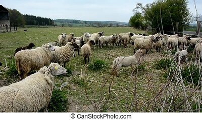 Flock of sheep - A flock of grazing shy white sheep behind a...