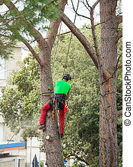 Man pruning pine tree. - Man with safety equipment and...