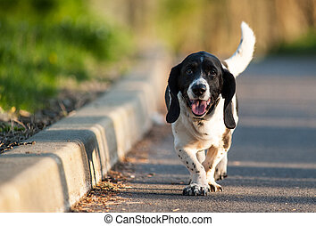 basset hound dog walking - happy basset hound dog walking...