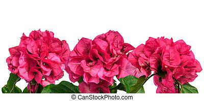 Cor-de-rosa, verão, flores, borda, isolado