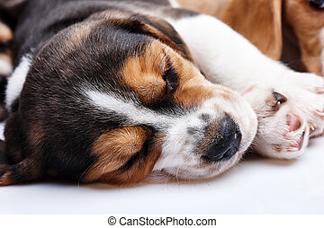Beagle Puppy, lying in front of white background - Beagle...