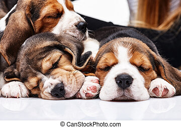 Beagle Puppies, slipping in front of white background - The...
