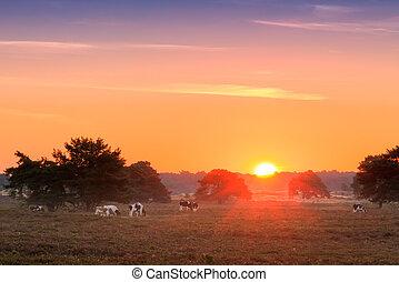 Sunrise cows Veluwe - Beautiful sunrise in National park 'De...