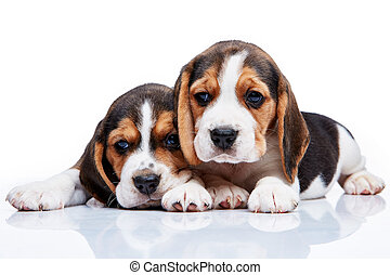 Beagle puppies on white background - The two beagle puppies...