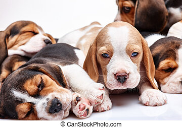 Beagle puppy on white background - Beagle puppy lying on the...