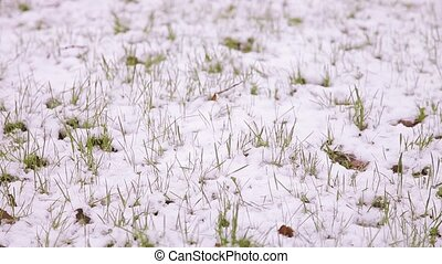 Snow falls on the young green leaves and grass