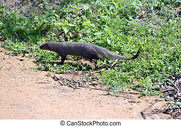 Mongoose in the jungles of Sri Lanka