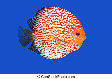 Checkerboard Discus fish in a blue background