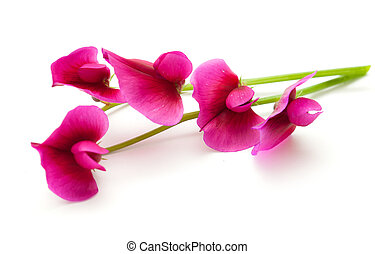 flora of Gran Canaria, Tangier pea isolated on white...