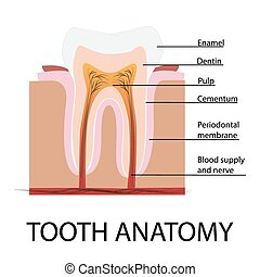 vector tooth anatomy illustration with description