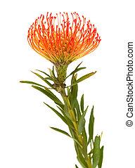 orange protea isolated on white background