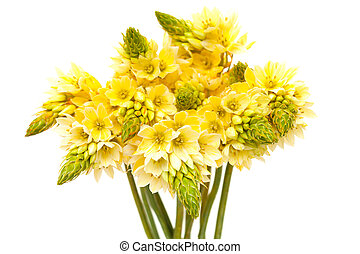 Bunch of star-of-bethlehem flowers isolated on white...