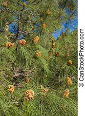 Pinus canariensis, Canarian Pine, male cones in spring