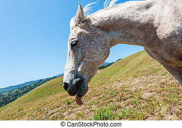White horse on hillside field tongue out - Horse standing on...
