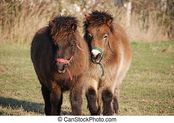 Shetland ponies - Two little Shetland ponies during winter...