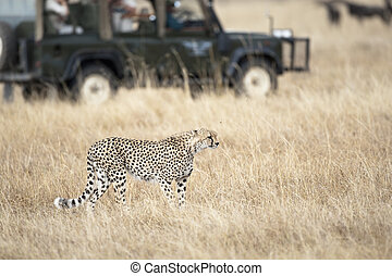 Safari tourists observing a cheetah, focus on foreground,...