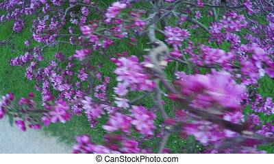 Peach in park - Camera on steadicam moves over flowering...