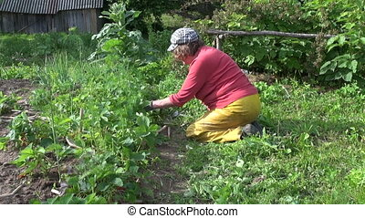 woman weed strawberry - senior woman kneel weed strawberry...
