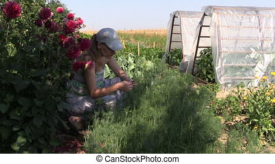 woman pick dill plants - Gardener woman pick healthy natural...