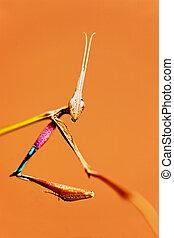 praying mantises - macro of a praying mantises with an alien...