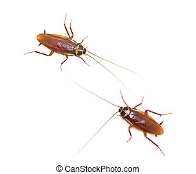 Two isolated cockroach on white background, insect not...