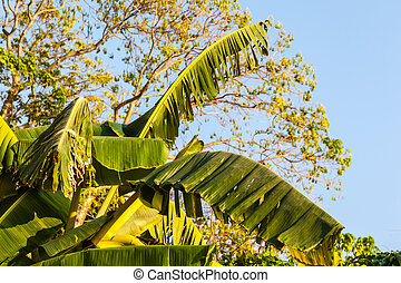 Banana leaves - close up shot of some banana leaves in a...