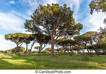 Italian stone pine landscape with pine trees