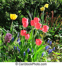 tulipa - Tulipa, colorful spring flowers in a cottage garden