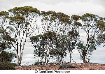 On the Ridge - Line of slender gumtrees against overcast sky...