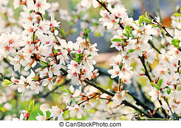 a branch of the white spring blossoms