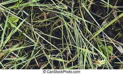 tadpoles grass hump - young tadpoles agile fluidity between...