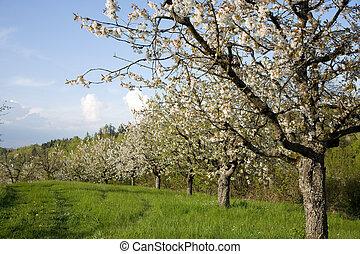 Blooming apple trees.