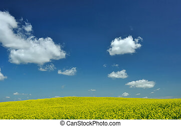 CANOLA IN FIELD IN ALBERTA