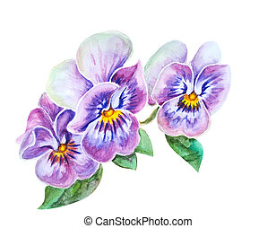 Tender pansies flowers. - Tender pansies flowers isolated on...