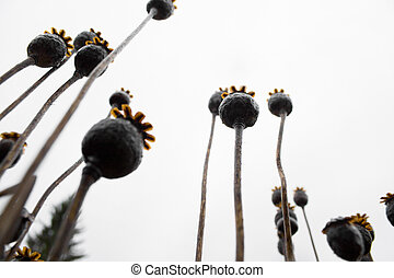 close-up dry opium plant - A close-up extremely rakurs photo...