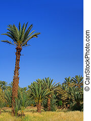 palm grove, cloudless sky behind
