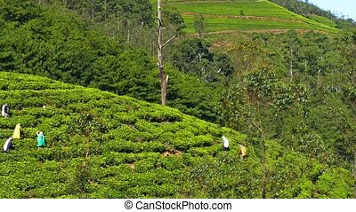 Women from Sri Lanka harvested tea leaves in Nuwara Eliya