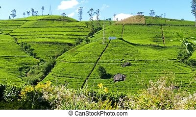 mountain tea plantation in Sri Lanka