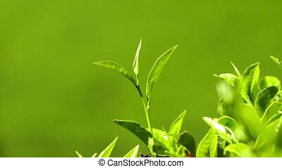 tea plants close-up in Sri Lanka