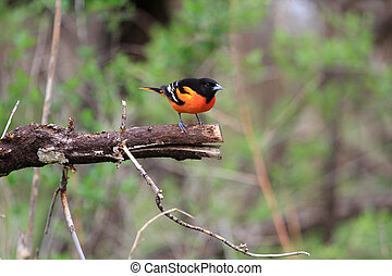 Northern Oriole Male - Northern Oriole male perched on end...