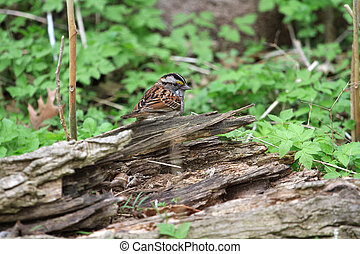 White - throated Sparrow