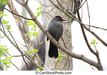 Gray Catbird perched on branch early spring
