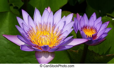 lotus flowers closeup