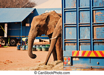 circus is in town, two elephants next to the barracks,...