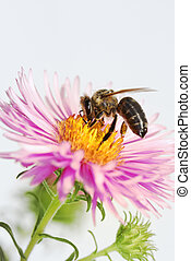 Honeybee at an aster - Aster flower with an honeybee....
