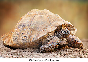 Galapagos Tortoise Side View - Side view of a large...